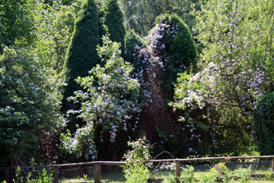 clematis in mature trees around the potager kitchen garden